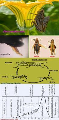 Ejemplo de desarrollo embrionario en insectos: SALTAMONTES