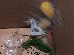 La reproducción del gusano de seda